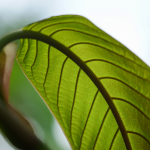 Before You Buy Kratom Keep Up With These 3 Things
