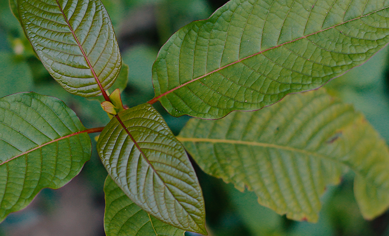 Methods to Find Kratom Near You