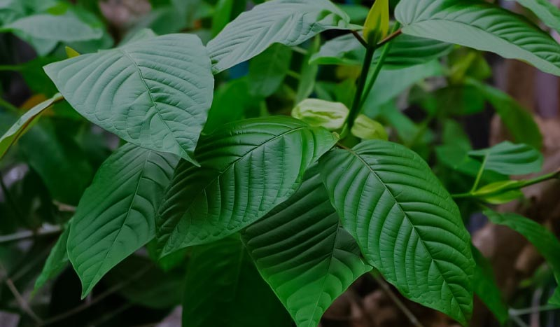 Increasing Western Popularity of Kratom – How Good it is?