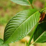 Kay Botanicals Named AKA GMP Qualified Kratom Vendor