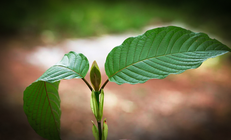 "Our ""Just For Sale June"" is here, choose your Kratom Strain"