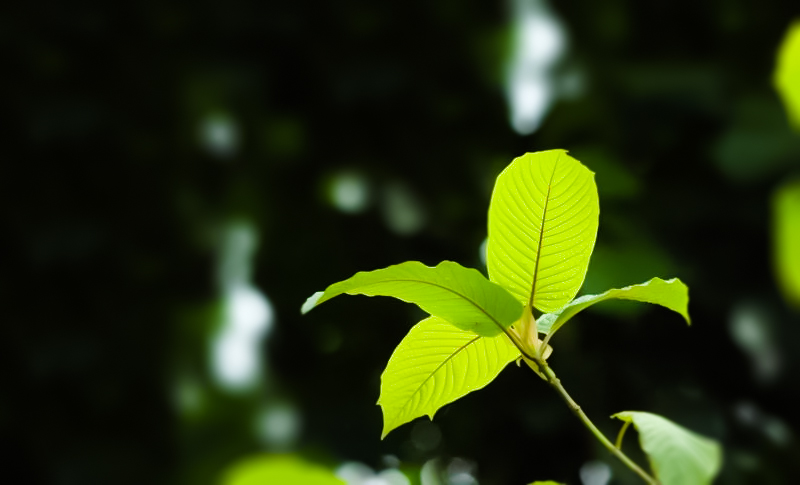 Japanese Universities Patent Kratom due to their Benefits