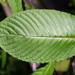 What Is The Strongest Kratom