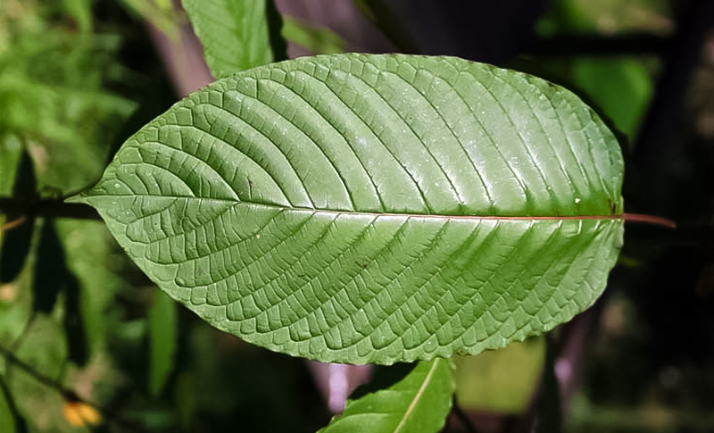 What Is The Strongest Kratom?