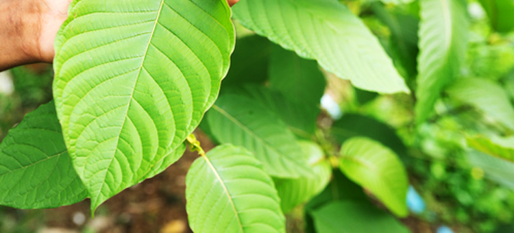 9-Recipes-of-Kratom