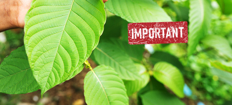 Why it is important to Keep Fresh Kratom?