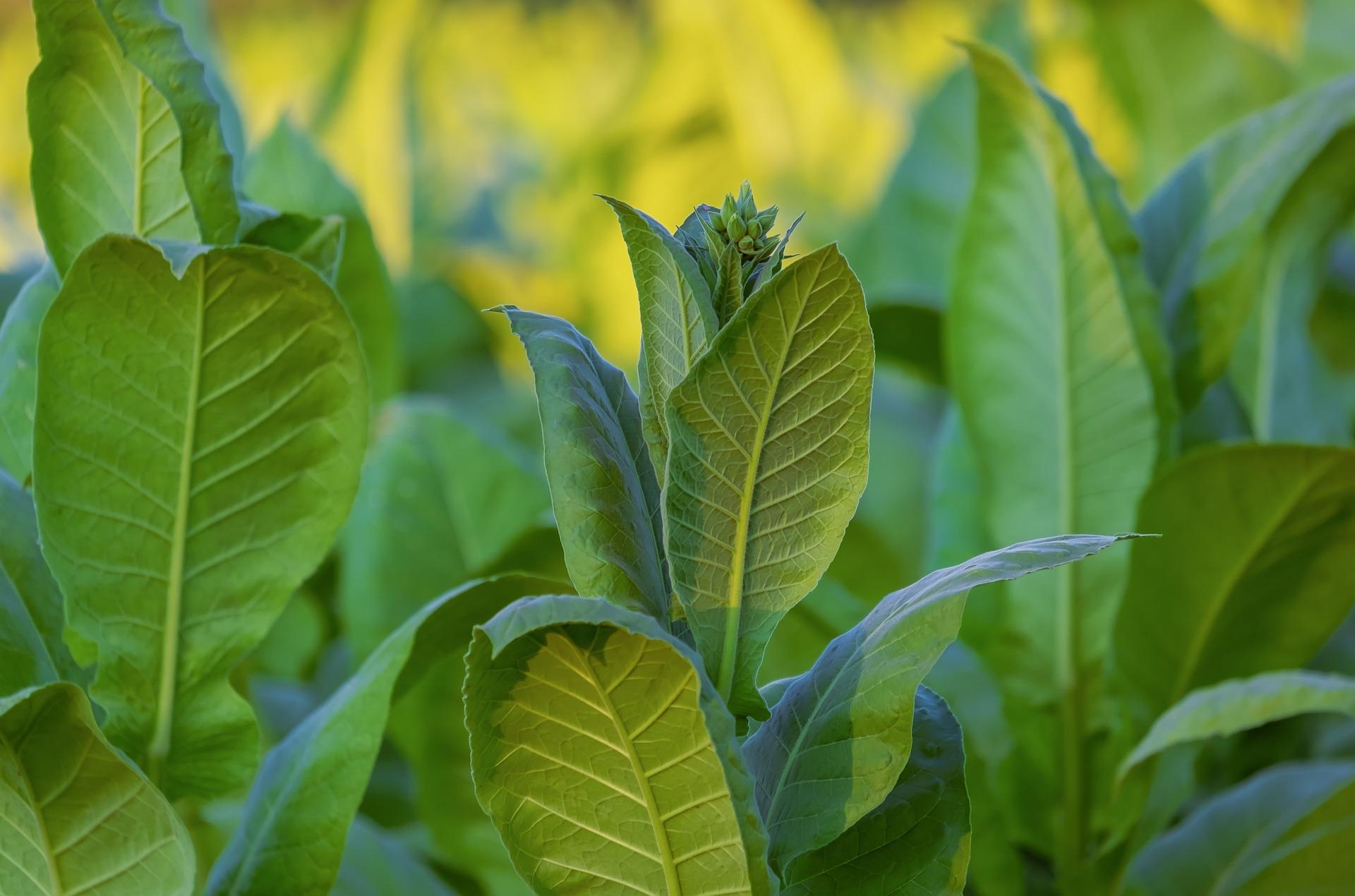 What are the methods of Harvesting & Drying Kratom?
